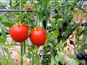 Rote und schwaze Tomaten