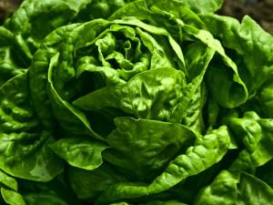 Kopfsalat-Salatkopf