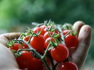 Tomaten selber pflanzen