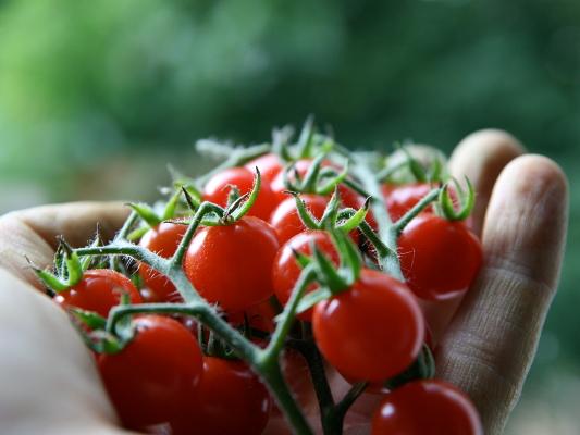 tomaten pflanzen die parzelle. Black Bedroom Furniture Sets. Home Design Ideas