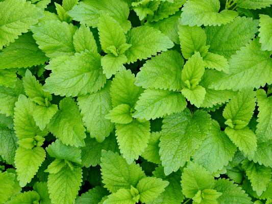 Blätter der Zitronenmelisse
