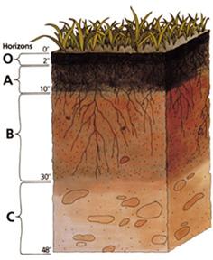 Schematische Darstellung der wichtigsten Bodenhorizonte, es fehlen die Horizonte H (Torf) und L (Streu). (Angaben in Zoll)
