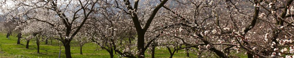Marillenblüte im Obstgarten