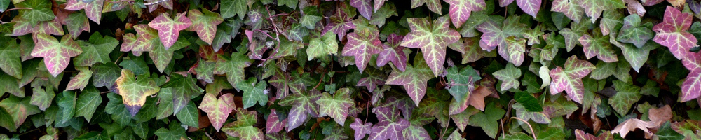 Kletterpflanze - Efeu