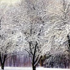 Obstbäume vor Barfrost schützen