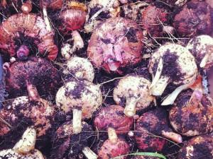 Gladiolenzwiebeln