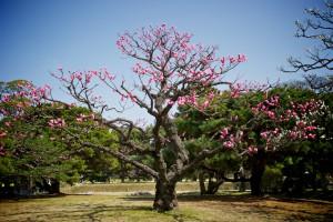 Pflaumenbaum in Tokyo