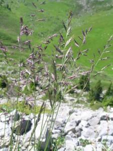 Rotschwingel festuca rubra