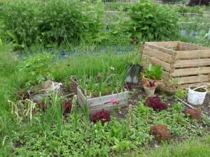 Gemüse-Sorten für Anfänger