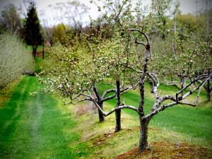 Winterschnitt bei Obstbäumen