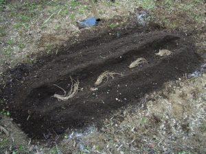 Spargelstauden werden in Gräben gepflanzt