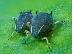 Zwei Blattläuse