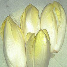 Chicorée aussäen