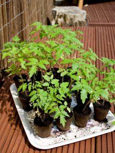 Junge Tomatenpflänzchen