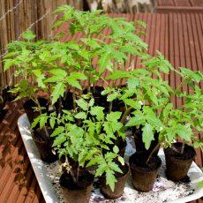 Tomaten und andere Gemüse ins Warmhaus säen