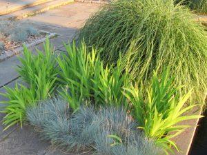 Festuca Glauca und andere Gräser